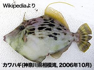 Kawahagi(wikipediaより)